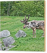 Large Reindeer Molting In Summer Pasture Art Prints Wood Print