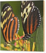 Large Tiger Butterflies Wood Print