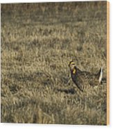 Last Prairie Chicken On The Booming Grounds  Wood Print by Thomas Young