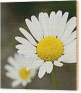 Late Daisies Wood Print