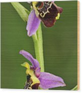 Late Spider Orchid Switzerland Wood Print
