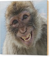 Laughing Gibraltar Ape Barbary Macaque Wood Print