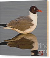 Laughing Gull Larus Atricilla Wood Print