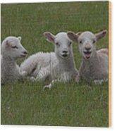 Laughing Lamb Wood Print
