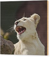 Laughing Lioness Wood Print