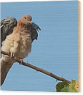 Laughing Palm Dove Fluffing Feathers Wood Print