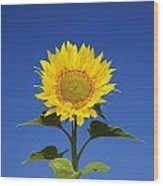 Laval, Quebec, Canada Sunflower Wood Print