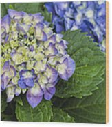 Lavender Blue Hydrangea Blossoms Wood Print