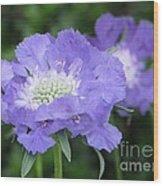 Lavender Blue Pincushion Flower Wood Print