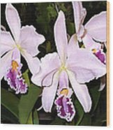 Lavender Cattleya Orchids Wood Print