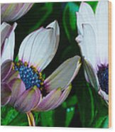 Lavender Frost African Daisy Wood Print