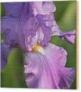 Lavender Iris Blooming  Wood Print