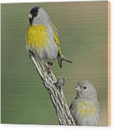 Lawrences Goldfinch Pair On Perch Wood Print