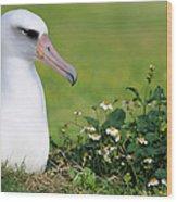 Laysan Albatross Nesting Hawaii Wood Print