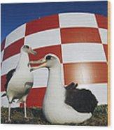 Laysan Albatross Pair Nesting Midway Wood Print