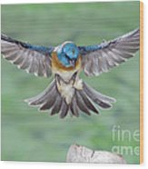 Lazuli Bunting In Flight Wood Print