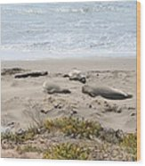 Lazy Seals Wood Print