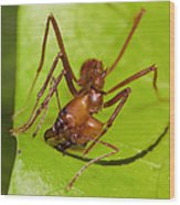 Leafcutter Ant Cutting Leaf Costa Rica Wood Print