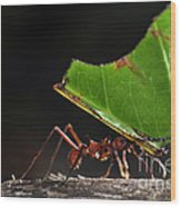 Leafcutter Ant Wood Print