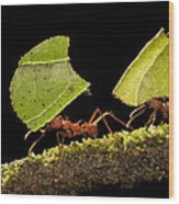 Leafcutter Ants Carrying Leaves Costa Wood Print