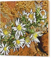 Leafy-bract Asters In Wildcat Canyon Trail Along Kolob Terrace Road In Zion National Park-utah Wood Print