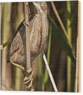 Least Bittern Pictures 14 Wood Print