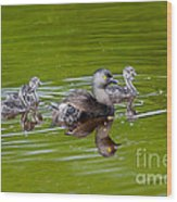 Least Grebe And Young Wood Print