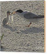 Least Tern Feeding It's Young Wood Print