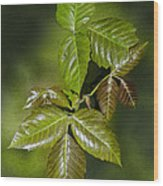 Leaves Of Three Wood Print