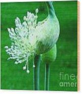 Leek Flower Wood Print