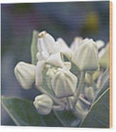 Lei Pua Kalaunu - Crown Flower - Calotropis Gigantea - Asclepiad Wood Print