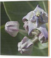 Lei Pua Kalaunu - Crown Flower - Calotropis Gigantea - Asclepiadaceae Wood Print
