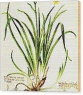Lemon Daylily Botanical Wood Print