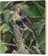 Lemon-rumped Tanager Molting Wood Print