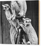 Lemurs Perched On Tripod Wood Print