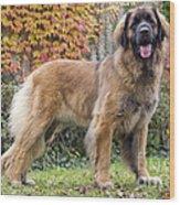 Leonberger Dog Wood Print