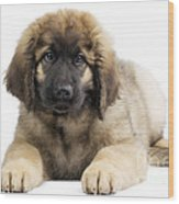Leonberger Puppy Wood Print