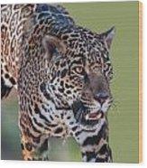 Jaguar Walking Portrait Wood Print