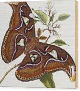 Lepidoptera Wood Print by Edward Donovan