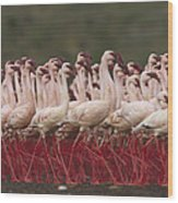 Lesser Flamingo Mass Courtship Wood Print
