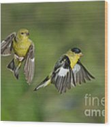 Lesser Goldfinch Pair In Flight Wood Print