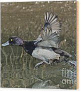 Lesser Scaup Drake Wood Print
