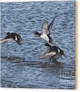 Lesser Scaup Ducks Wood Print