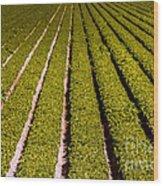 Lettuce Farming Wood Print