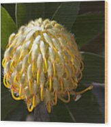 Leucospermum  -   Yellow Pincushion Protea Wood Print