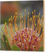 Leucospermum Pincushion Protea - Tropical Sunburst Wood Print