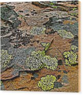 Lichens Along Trail To Plain Of Six Glaciers In Banff National Park-alberta-canada Wood Print