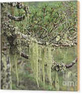 Lichens On Tree Branches In The Scottish Highlands Wood Print