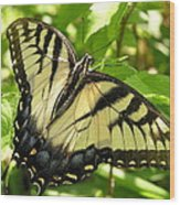 Light Form Female Tiger Swallowtail Wood Print