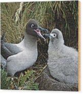 Light-mantled Albatross Feeding Chick Wood Print